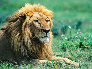 African Lion - Wildlife Tourism.net
