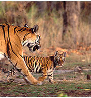 Indian Tiger - Wildlife Tourism.net